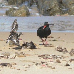 Birds - Port Alfred beaches